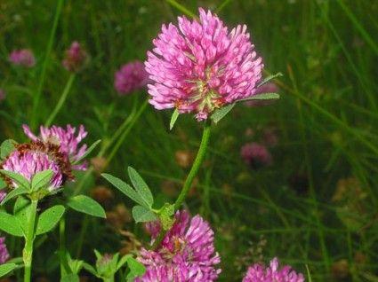 Red-Clover-flower1