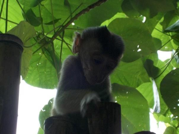 Thailand Islands Monkey (baby)