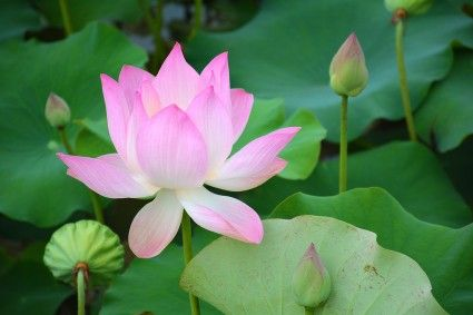 Lotus Flower Cambodia