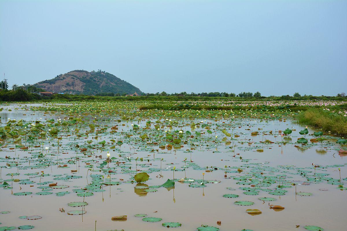 Phnom Krom lotus flower field