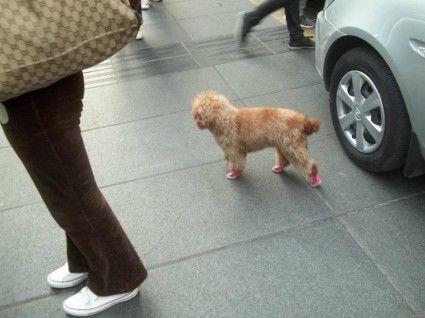 chongqing china fashion dog in shoes