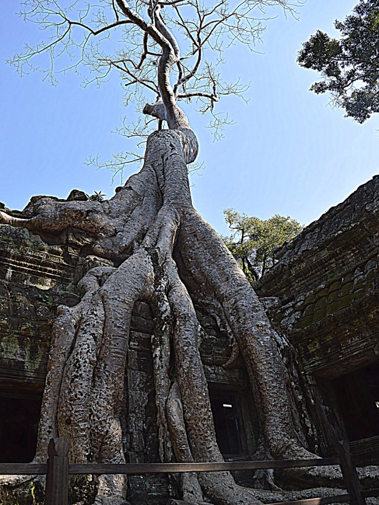 The Banyan tree overtaking the Ta Prohm or rather the perfect example of nature and spirituality coming together.